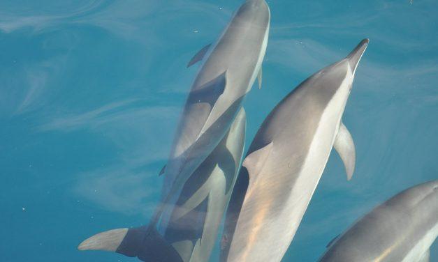 IOAN – Der Orden der Delphine